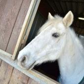 cavalli-affida